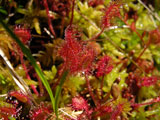 Drosera rotundifolia - group of red plants