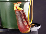Nepenthes lowii (Trusmadi)