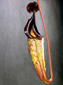 Nepenthes maxima - lower trap