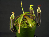 Nepenthes midei