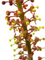 Nepenthes ventricosa male flowers