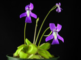 "Pinguicula sp ""K�hres"""