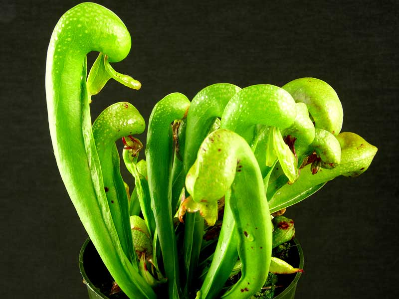 Darlingtonia californica - Small Plants