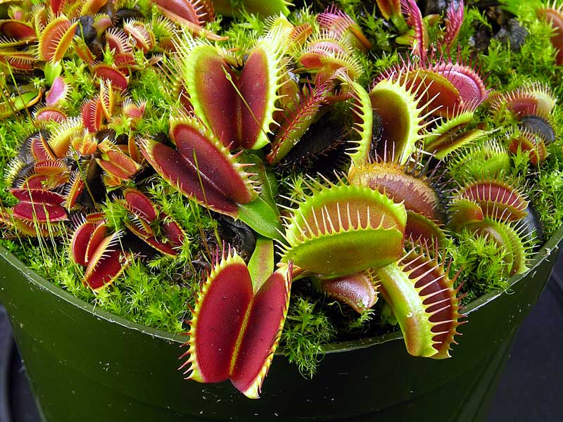 Venus Flytrap 'Big Mouth'
