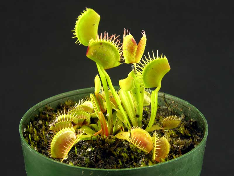 Venus Flytrap (typical)