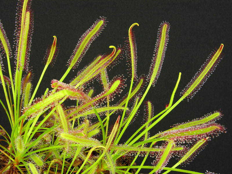 Drosera capensis (Narrow Leaf)