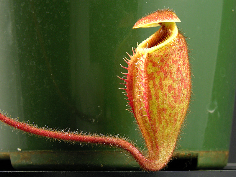 Nepenthes argentii - pitcher detail