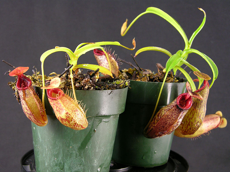 Nepenthes aristolochioides x (ventricosa x talangensis)