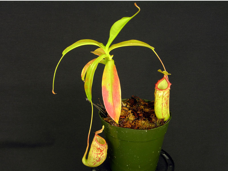 "Nepenthes ""Red Leopard"""