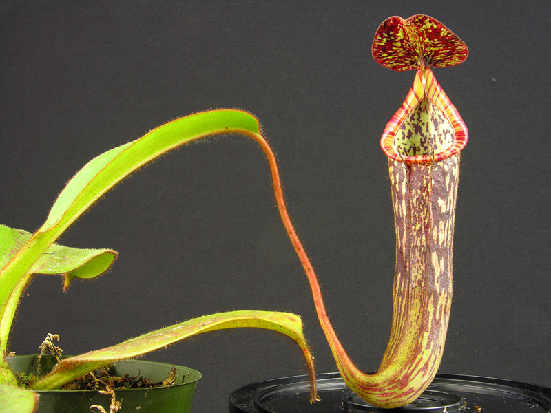 Nepenthes stenophylla 2