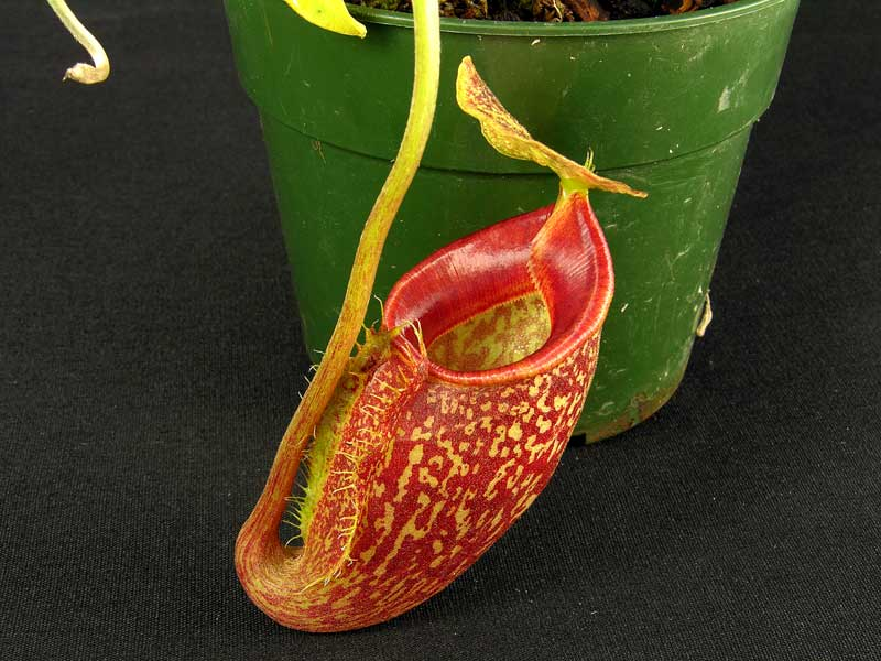 Nepenthes talangensis - pitcher detail