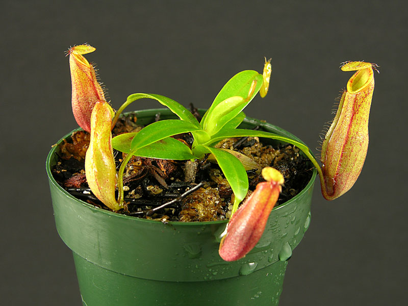 Nepenthes tentaculata