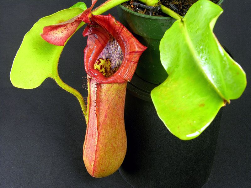 Nepenthes truncata (Pasian highland)