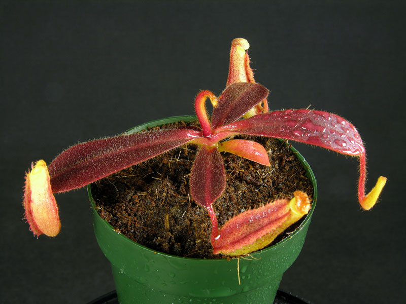 Nepenthes veitchii x platychila