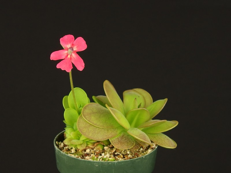 Pinguicula laueana (crimson flower)