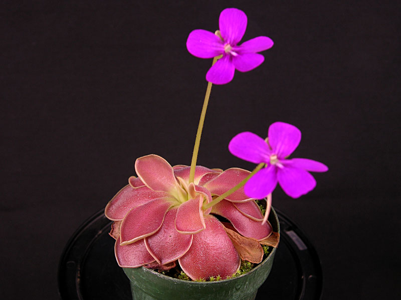 Pinguicula 'Weser' - Large