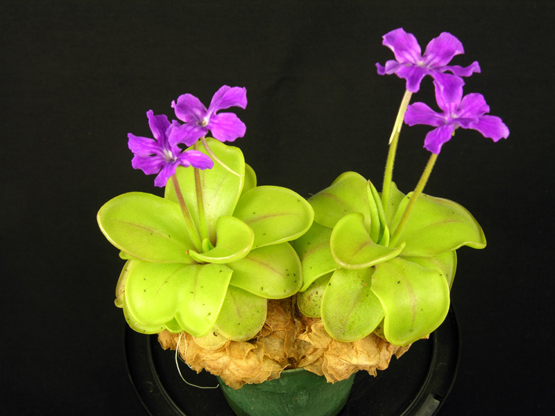 Pinguicula zecheri
