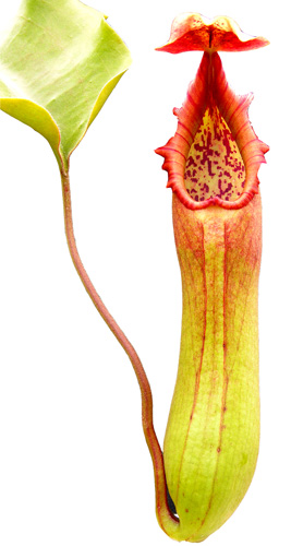 Nepenthes truncata (highland form)