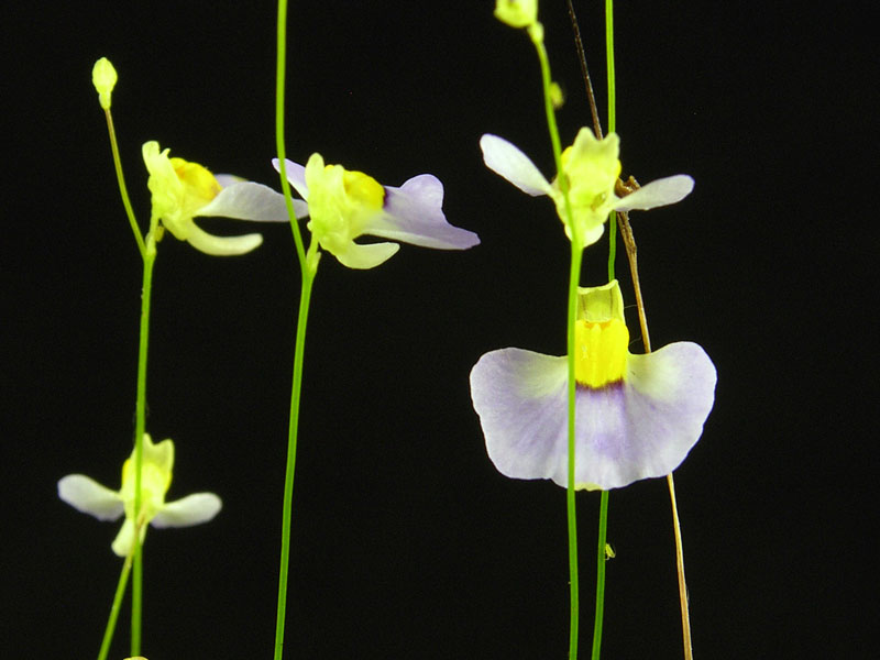 Utricularia bisquamata Big Purple Flowers